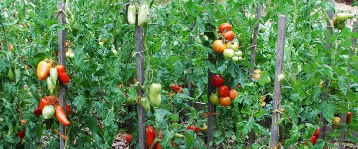 jardin-bio-tomates